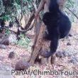 Chimpanzees Performing a Bizarre Ritual